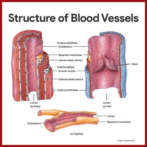diagram of veins cardiovascular system blood vessels worksheet the best