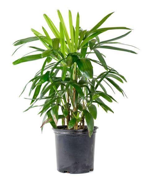 palme zimmerpflanze arten palmenarten zimmerpflanzen rhapis excelsa geh 246 rt zu den