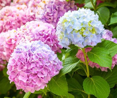 Bunga Hias Hydrangea 9 fakta arti dan makna bunga hydrangea kembang bokor