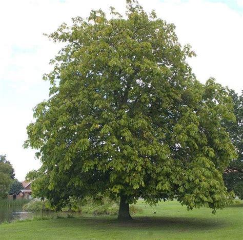 albero giardino alberi per giardino alberi