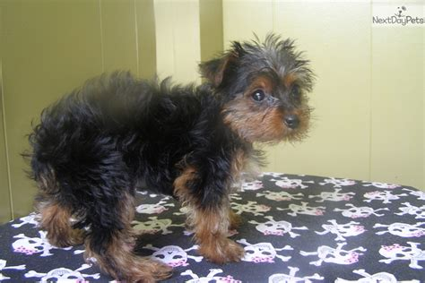 yorkie puppies new jersey terrier yorkie puppy for sale near jersey new jersey e8167565 03a1