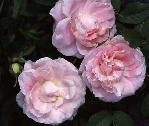 Almost Cluster Brown Glossy Original Ca3912 54 b 228 sta bilderna om canadian series roses eh p 229 rosor buskar och mellanl 229 ngt