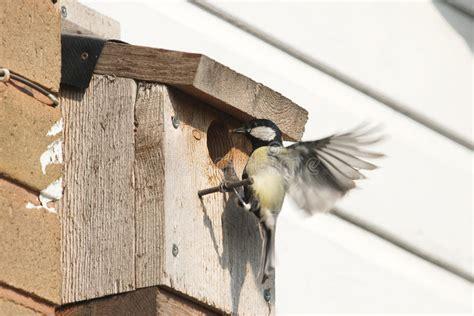 cinciallegra alimentazione pulcini d alimentazione della cinciallegra in nido