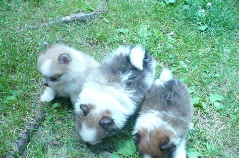 boston terrier puppies ohio ohio boston terrier puppies