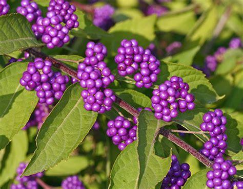viette s callicarpa beautyberry