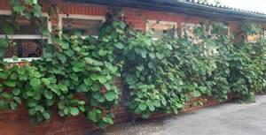 kiwi im garten pflanzen m 228 nnergesellschaft 171 wir sind im garten