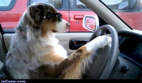 driving dogs learning to drive your thedogtrainingsecret