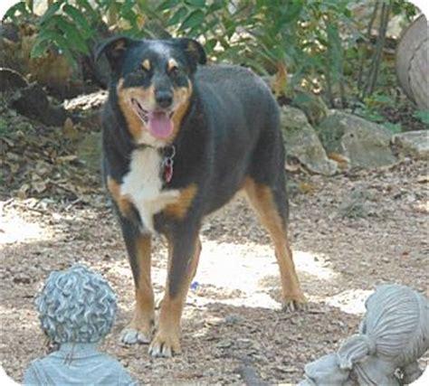 seattle rottweiler puppies rottweiler puppies for adoption in seattle wa