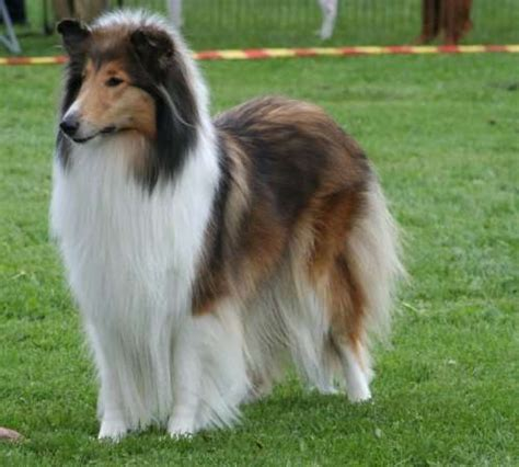 what type of was lassie fantastica animal collie informations