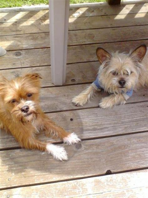 chiweenie shih tzu mix 17 best images about shichi on chihuahua dogs nikko and my name is