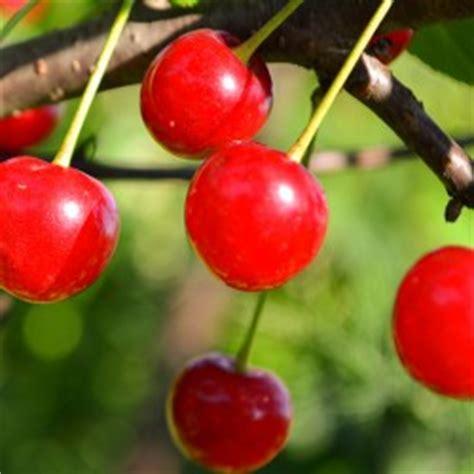 cherry tree kansas deciduous fruit clausen nursery