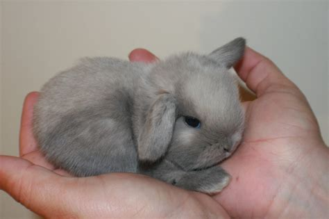 bunnies for sale near me 7 mini lop rabbits near augusta me rabbits for sale in