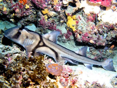 poisson dormeur heterodontus portusjacksoni requin dormeur de
