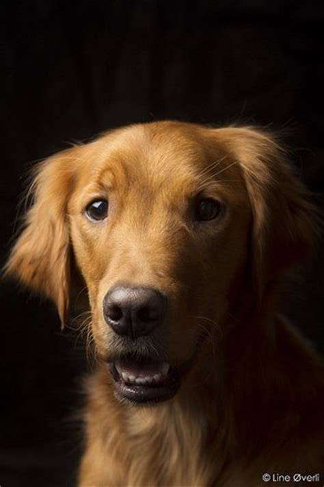 golden retriever eyebrows pinned via pinmarklet simply golden posts eyebrows and