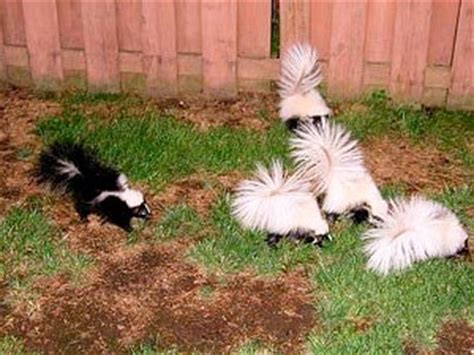 skunk in backyard let omega animal removal get rid of your skunk problem