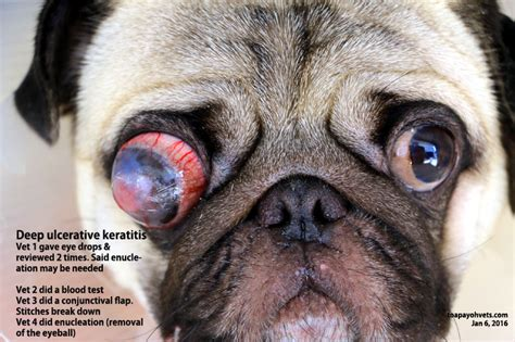 eye problems in pugs veterinary medicine surgery singapore toa payoh vets dogs cats rabbits guinea