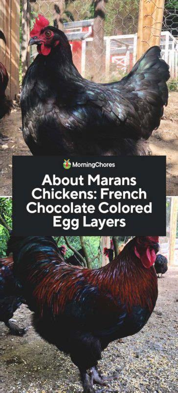 marans chickens french chocolate colored egg layers