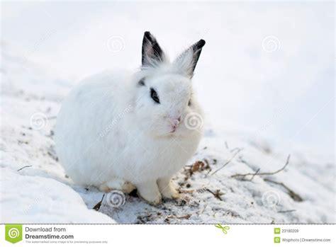34 Punny White white bunny royalty free stock images image 23180209
