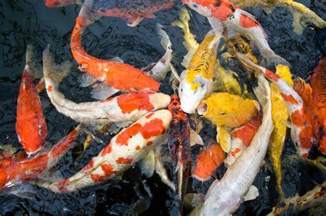 Bibit Ikan Koi Berkualitas grosir bibit ikan koi harga murah dan terlengkap di kediri