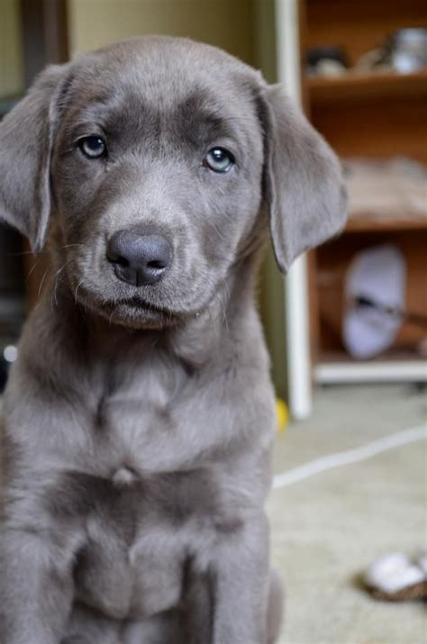 silver labrador puppies silver lab often thought to be a mix of lab and weimaraner but true pups do exist