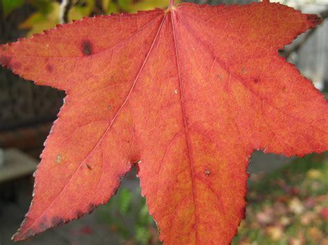 an orange maple leaf free stock photo public domain pictures