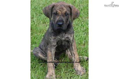 great dane puppies for sale in wv akc akita pups ch bloodlines breeds picture