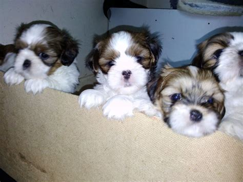 shih tzu x lhasa apso puppies shih tzu x lhasa apso puppies hull east of pets4homes