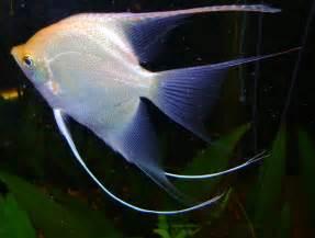 World Animal Beauti And Funny: Angelfish