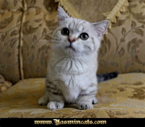 cats for sale munchkin cat for sale michigan cat and