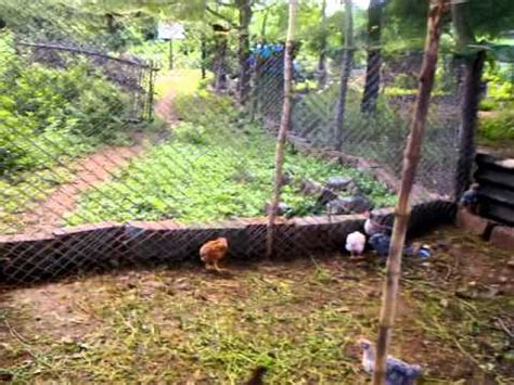 backyard poultry rearing backyard poultry or natukollu farming success story from