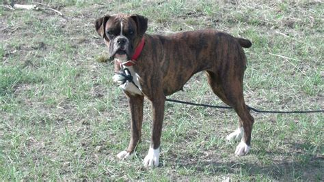 miniature boxer puppies pictures of dogs lsc has raised