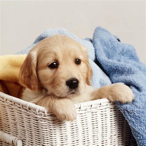 Dog Wall Murals golden retriever puppy in laundry basket photographic