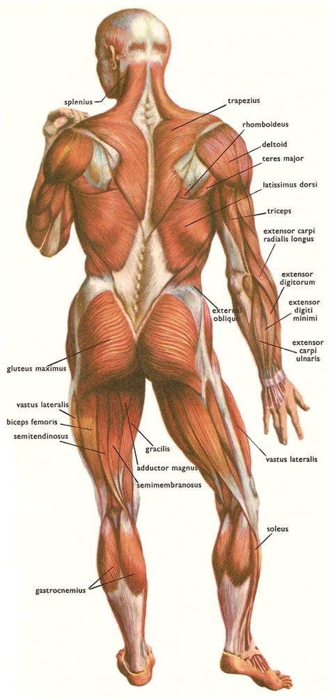lowered muscle lower back muscles labeled human anatomy chart