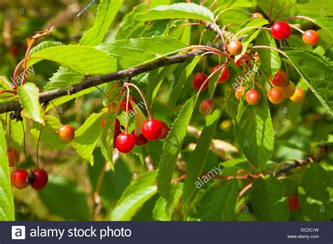 cherry tree wisnie w czekoladzie cherries on cherry tree prunus avium kent uk summer stock photo 59060341 alamy