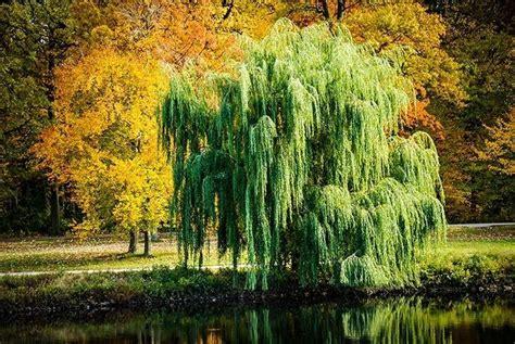 weeping willow tree weeping willow tree tree