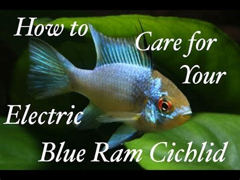 blue ram how to care for your electric blue ram cichlid