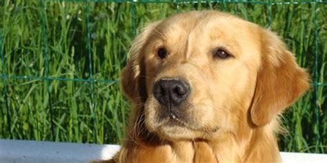 golden retriever 101 raza golden retriever fotos de perros golden retriever