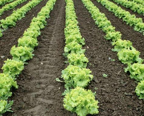 Di Grow how to grow lettuce outside the garden of eaden