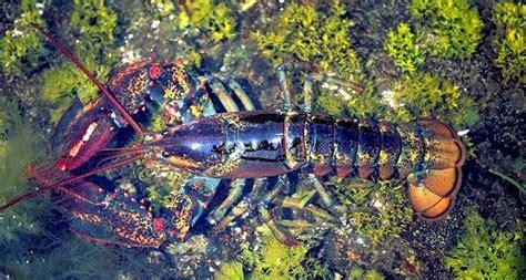 atlantic lobster ocean treasures memorial library