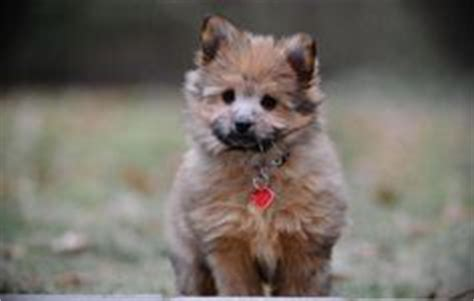 pomeranian x fox terrier pomeranian x fox terrier on pomeranian mix yorkie and