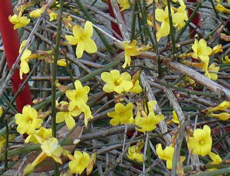 pianta dai fiori gialli pianta con fiori gialli da determinare grazie foto dei