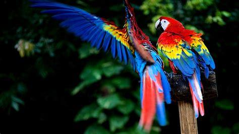 wallpaper full hd parrot macaw parrot wallpapers wallmaya com