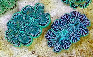 marine clams