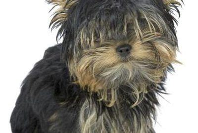 shorkie dog different hair styles 17 best ideas about yorkie hairstyles on pinterest