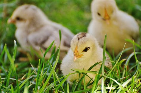 small chicken 3 chicks on green grass 183 free stock photo