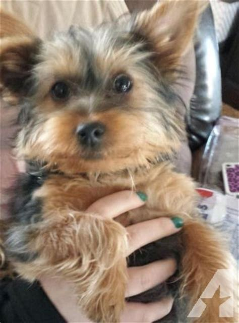 yorkie 4 months akc yorkie 4 months for sale in harrisburg pennsylvania classified