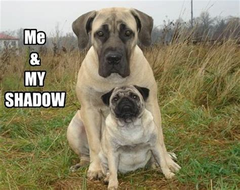 pug mastiff mix 67 best images about memes on sheep dogs ha ha and puns