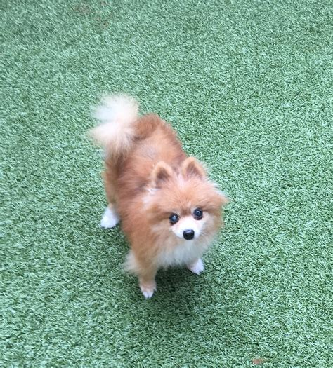 pomeranian tx pomeranian for adoption in garland tx adn 561606 on puppyfinder gender