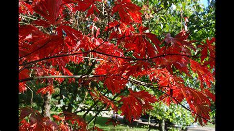 acer japonicum aconitifolium cut leaved japanese maple