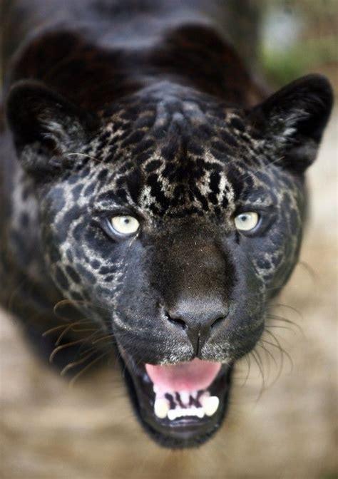 black jaguar or quot melanistic color variant quot saw a black